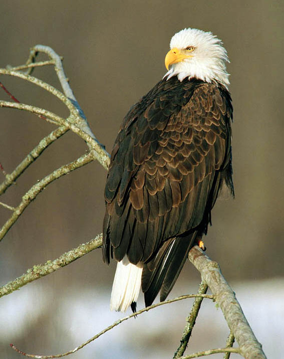 You can seee many different types of birds while birding on San Juan Island, including Eagles!