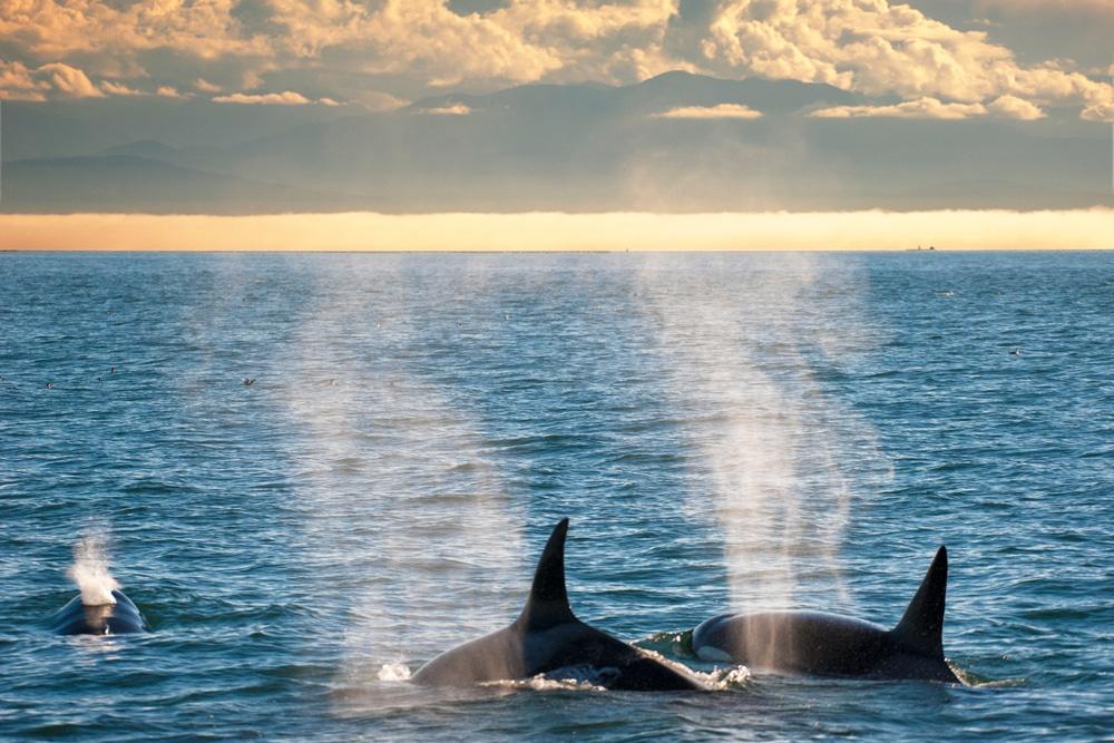 The best San Juan Islands Whale Watching Tours