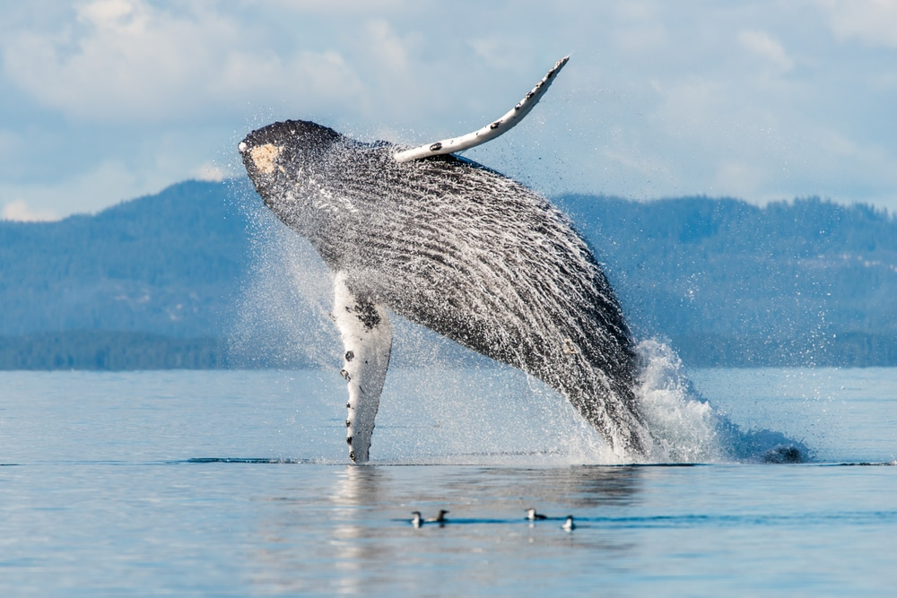 See humback whales from these whale watching tours in the San Juan Islands