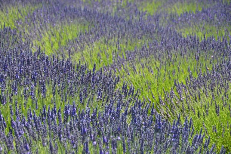 Stunning lavender up close at Pelindaba Lavender Farm on San Juan Island