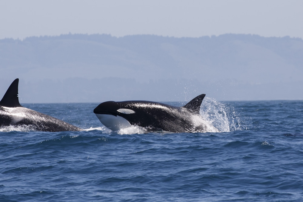 Whale watching is one of the most popular things to do in the San Juan Islands each summer