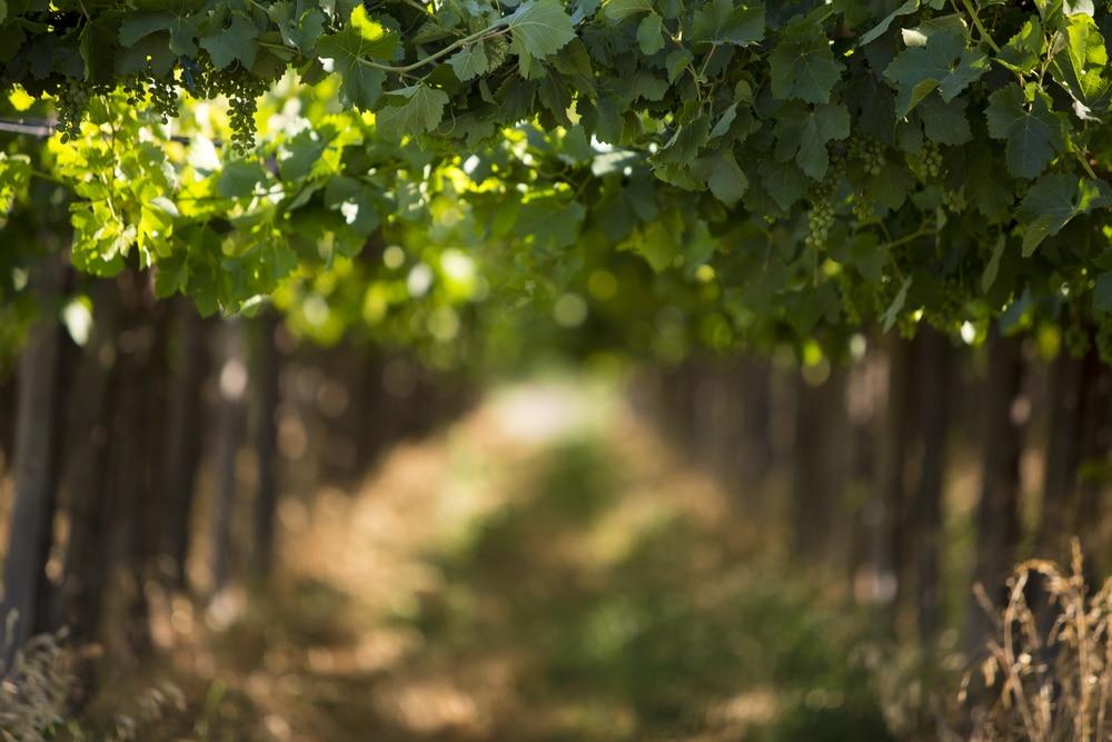 Beautiful vineyards are waiting at Washington wineries in the San Juan Islands